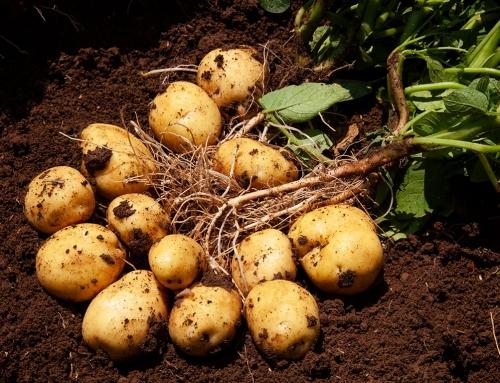 Patates tohumları satışta!